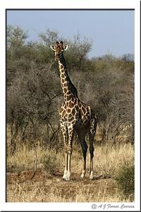 Girafa - Giraffa camelopardalis Giraffe