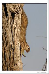 Esquilo arbóreo - Paraxerus cepapi Tree squirrel
