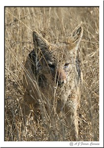 Chacal de costas negras - Canis mesomelas Black backed jackal