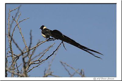 Paradise Whydah (long-tailed) - Vidua paradisea