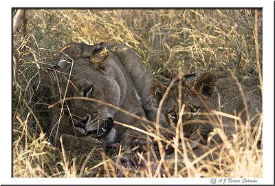 Leoa e filho - um almoço de costeletas Lioness and son - a meal of spare ribs