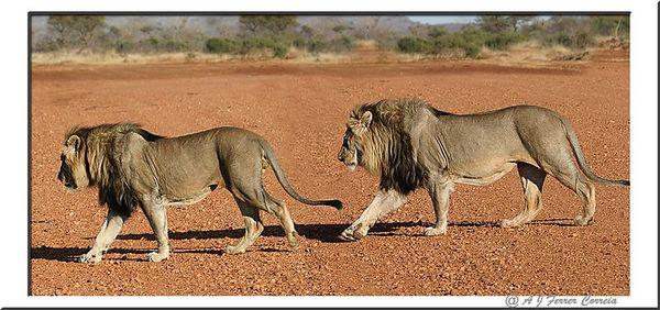 Leão - Panthera leo - uma coligação de dois machos Lion - two male coallition