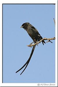 African longtailed shrike - Corvinella melanoleuca