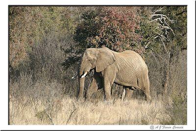 Elefante - Uma fémea muito grande Elephant - A large female