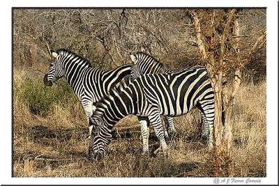 Zebra de Burchell - Equus burchelli Burchell's Zebra