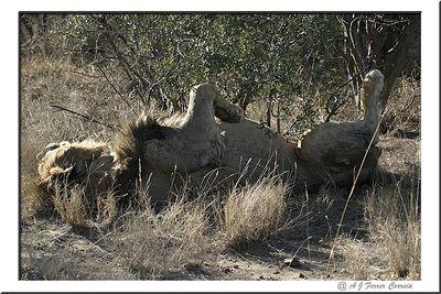 Leão - Panthera leo - Uma boa soneca Lion - a good nap