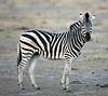 Zebra - Savuti