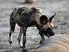 Wild Dog - Savuti