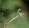 Common Bee-eater