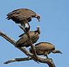 Vultures - Savuti