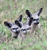 Bat-eared Foxes (juvenile)