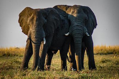 Buddies - Chobe National Park, Botswana