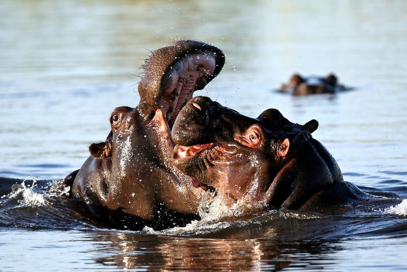 Hippo - Chitabe