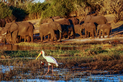 Can I join the party? Chobe National Park, Botswana