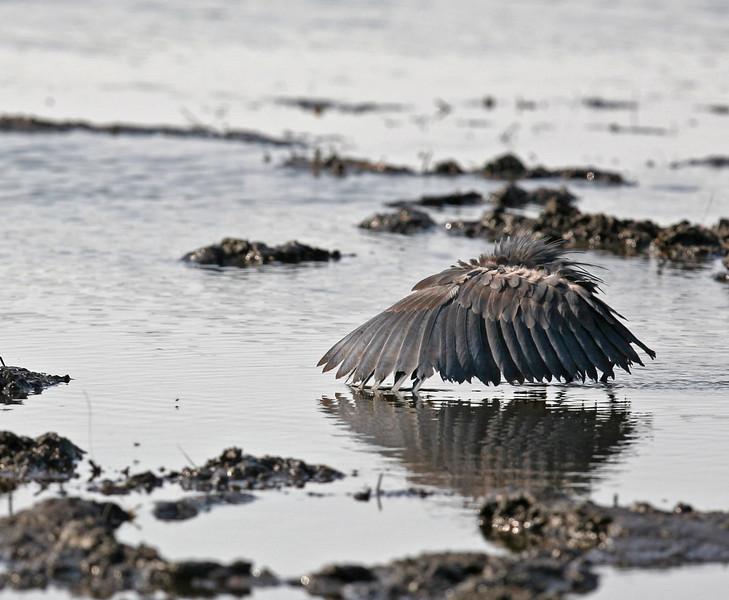 Black Heron (fishing)