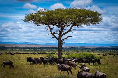 Wilderbeasts - Masai Mara, Kenya