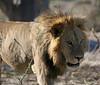 Lion - Chitabe