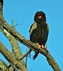 Bateleur Eagle - Chitabe
