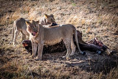 Cape Buffalo Kill - Serengeti National Park, Tanzania