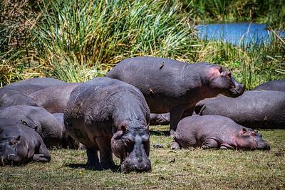 Hippos - Ngorongoro Crater, Tanzania