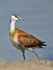 African Jacana (thanks, James)