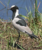 Blacksmith Lapwing Plover