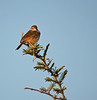 Rattling Cisticola (thanks, James)