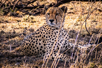 Cheetah - Serengeti National Park, Tanzania