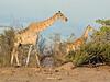 Giraffe - Savuti