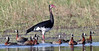 Spur-winged Goose with White-faced Duck