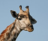 Giraffe with Red-Billed Oxpecker