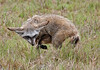 Bat-eared fox (adult)