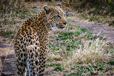 Leopard on the prowl (blind in one eye), Kruger National Park, South Africa