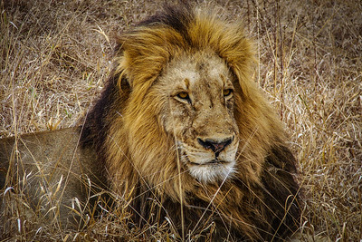 Don't mess with Leo - Kruger National Park, South Africa