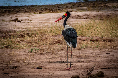 Saddle-billed Stork, Tarangire National Park, Kenya