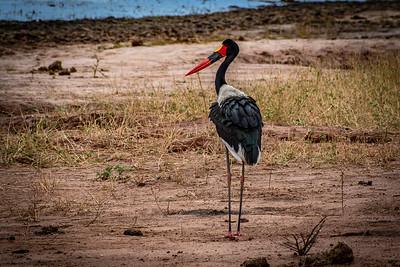 Saddle-billed Stork, Tarangire National Park, Kenya