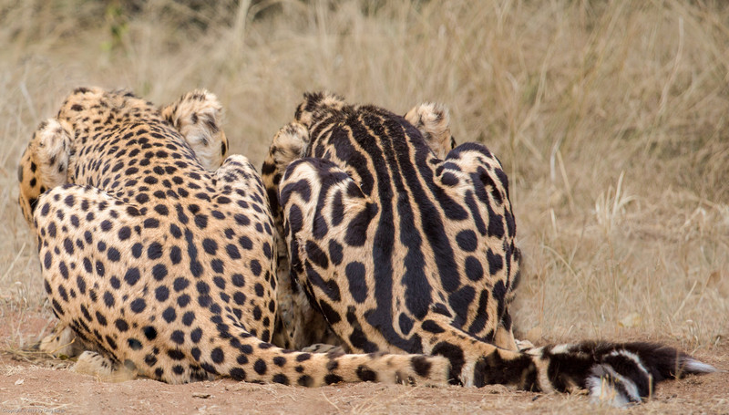 Cheetah Genetics