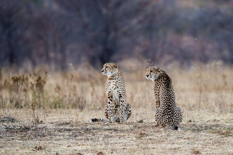 Posing Cheetahs