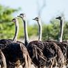 Alert ostriches