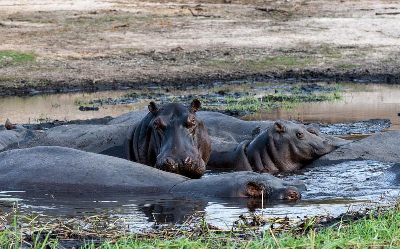 Resting hippopotami