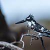 Pied Kingfisher- bad hair day!