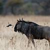 Blue Wildebeest and bird