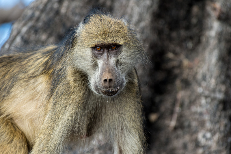 Captivated baboon