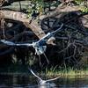 White Heron envies bird's catch