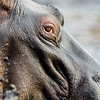 The eye of the hippo