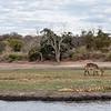 Waterbuck and crocodile