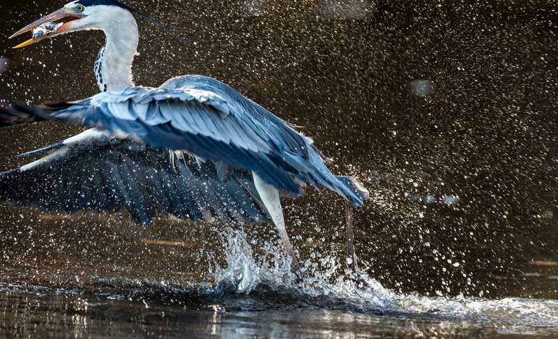 Grey Heron captures food