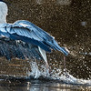 Grey Heron captures food