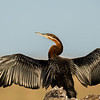 African Darter about to fly