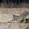 Stretching Cheetah